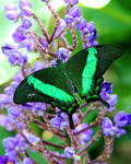 Emerald Swallowtail on Blue Ginger