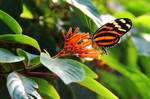 Tiger Longwing on Hummingbird Bush