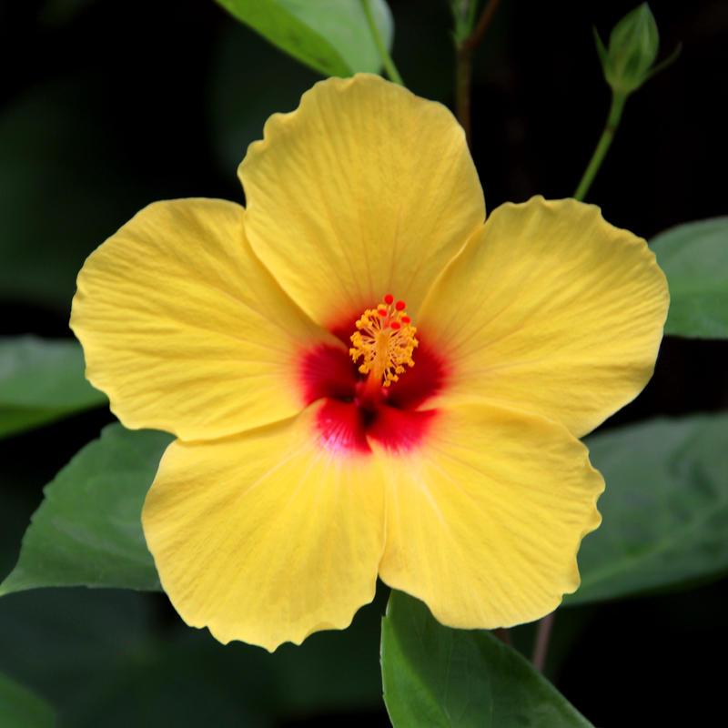 yellow hibiscus plant - photo #30