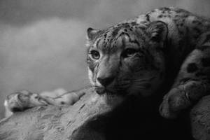 International Snow Leopard Day by TheSleepyRabbit