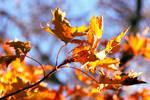 Leaf Blaze