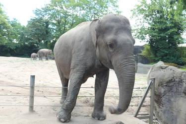 Elephant Stock 1