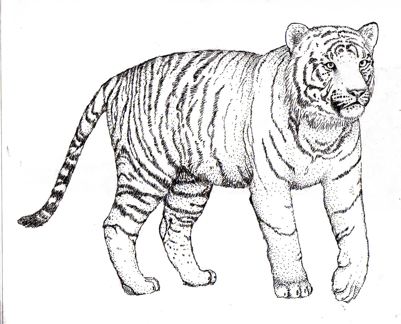 Line Drawing Tiger : Tiger burning bright by rebeccannoying on deviantart