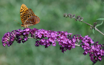 Golden Butterfly by sarsgaard