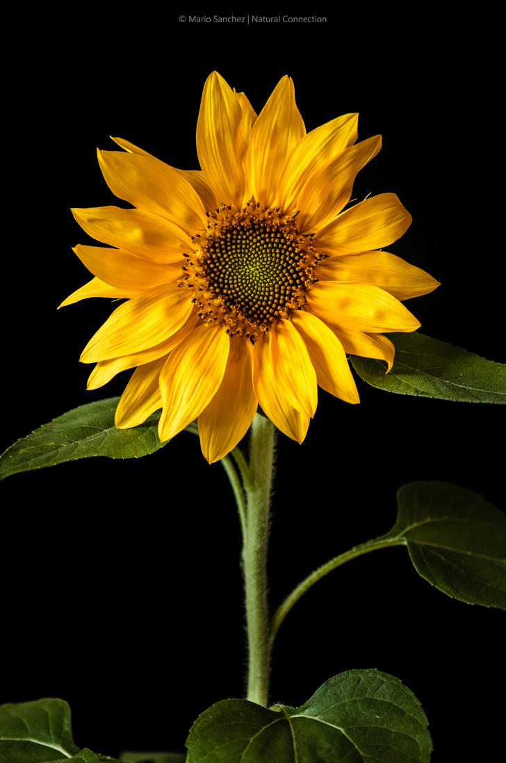 Sunflower. by MCN22