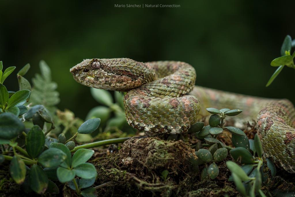 Bothriechis schlegelii, Costa Rica. by MCN22