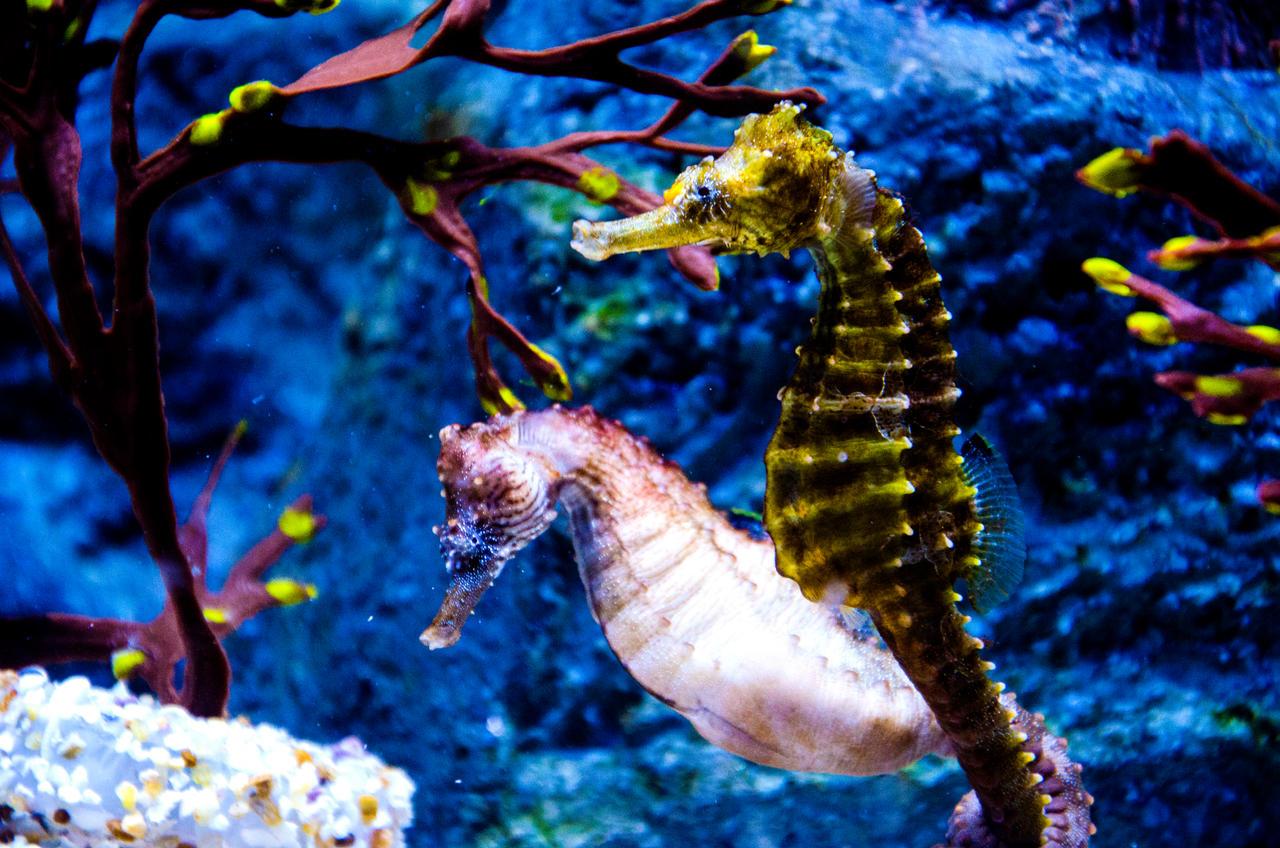 SeaHorse couple... Underwater Plants
