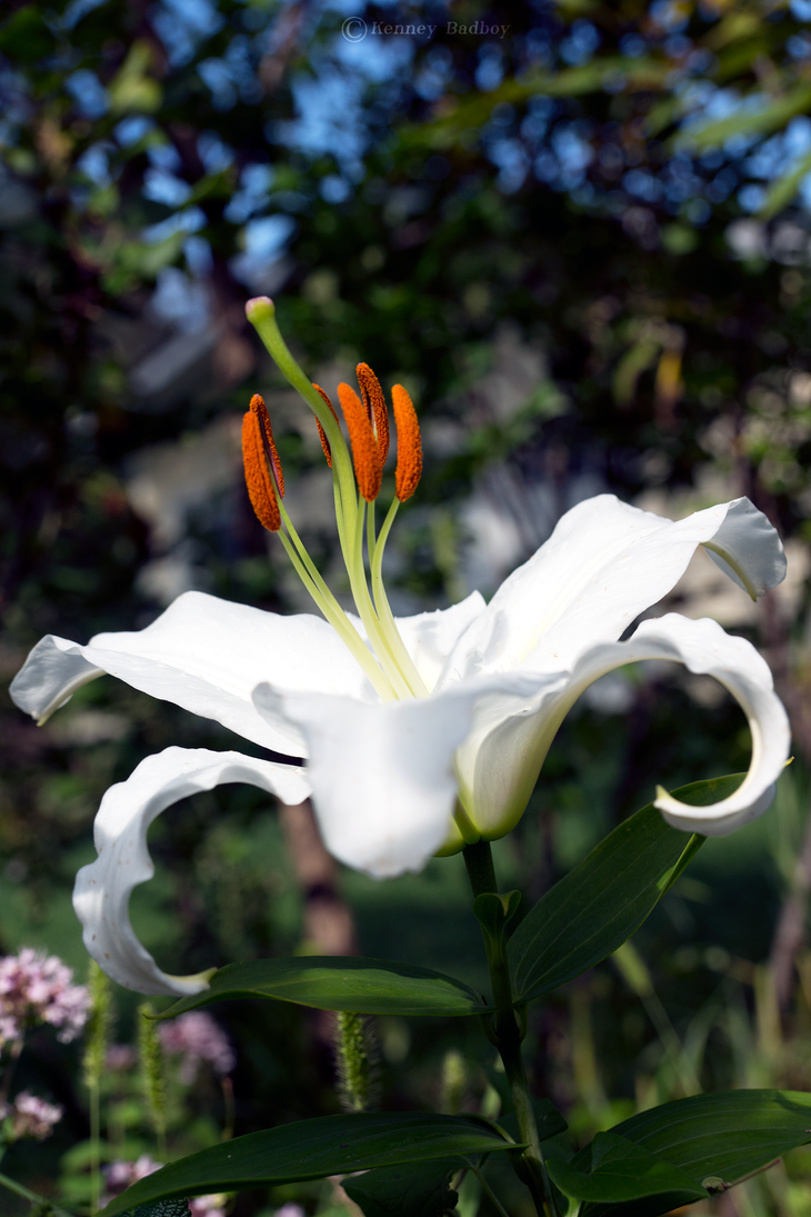 -- oriental lily by Cue-the-Cannibal