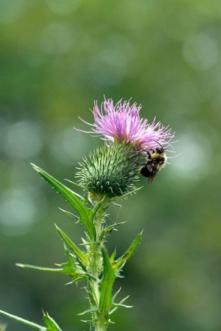 -- the bee on the thistle by Cue-the-Cannibal