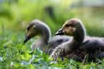 Goslings by FriendFrog