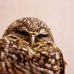 Grump Owl by FriendFrog