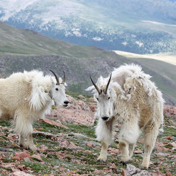 Goat Friends by FriendFrog