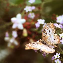 Nectar Dreams