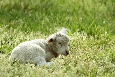Lamb Dreams