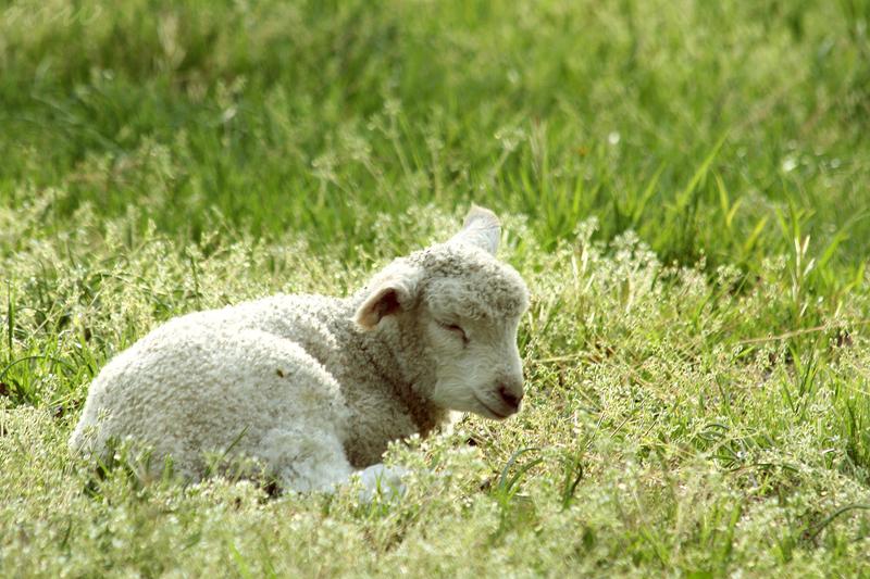 Lamb Dreams by FriendFrog