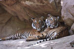 Tiger Bros by FriendFrog
