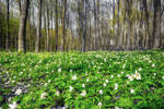 White wood anemones carpet in the spring forest