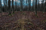 Early evening in the beech forest 2