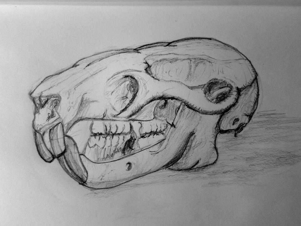 Rat skull by PhlashPhotog