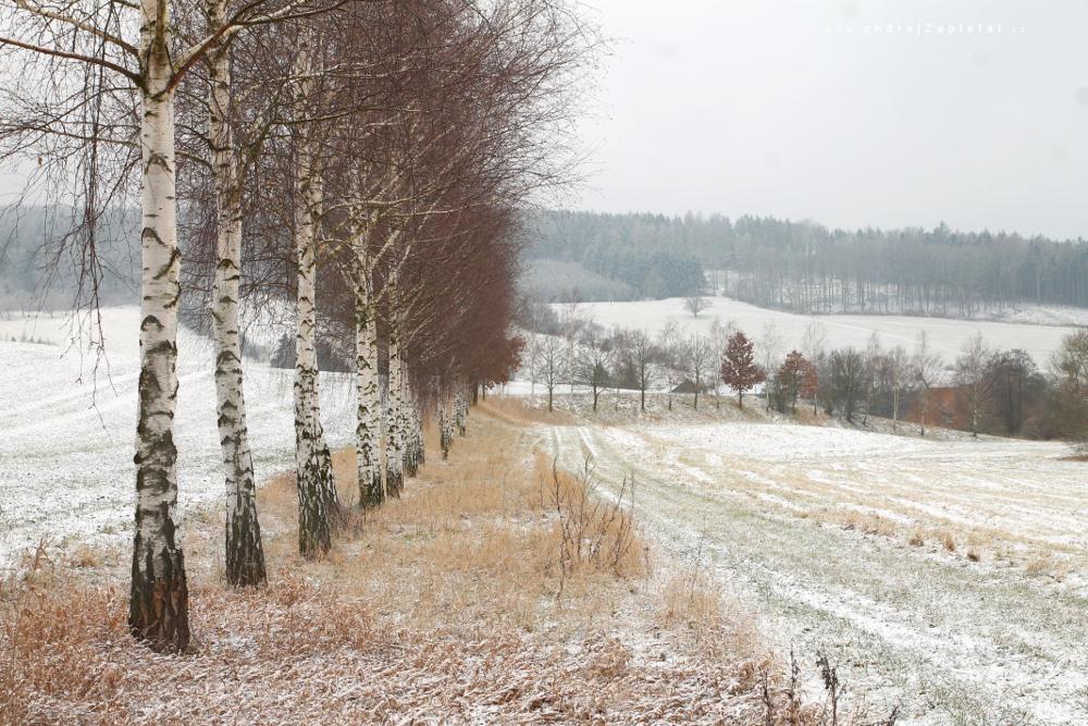 Birchline by ondrejZapletal