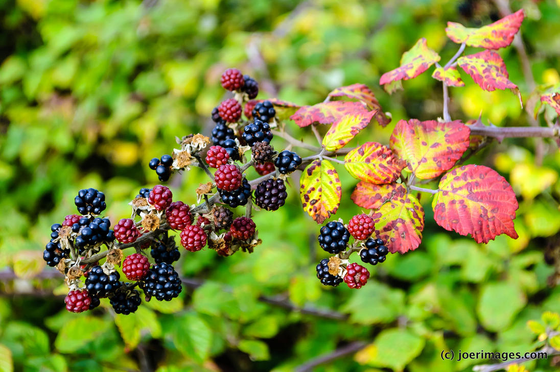 Blackberry by joerimages