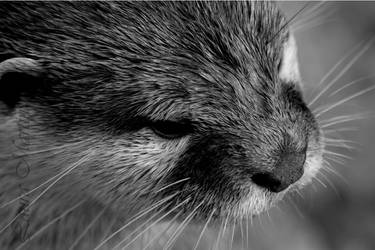 Otter by Caelitha