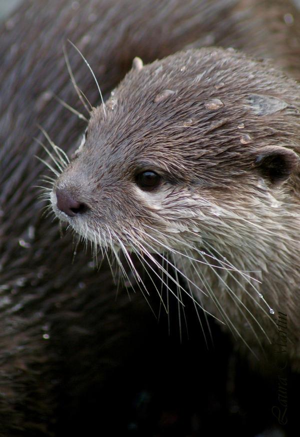 Otter II by Caelitha