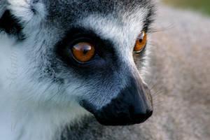 Lemur V by Caelitha