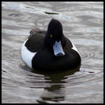 Tufted Duck by Caelitha