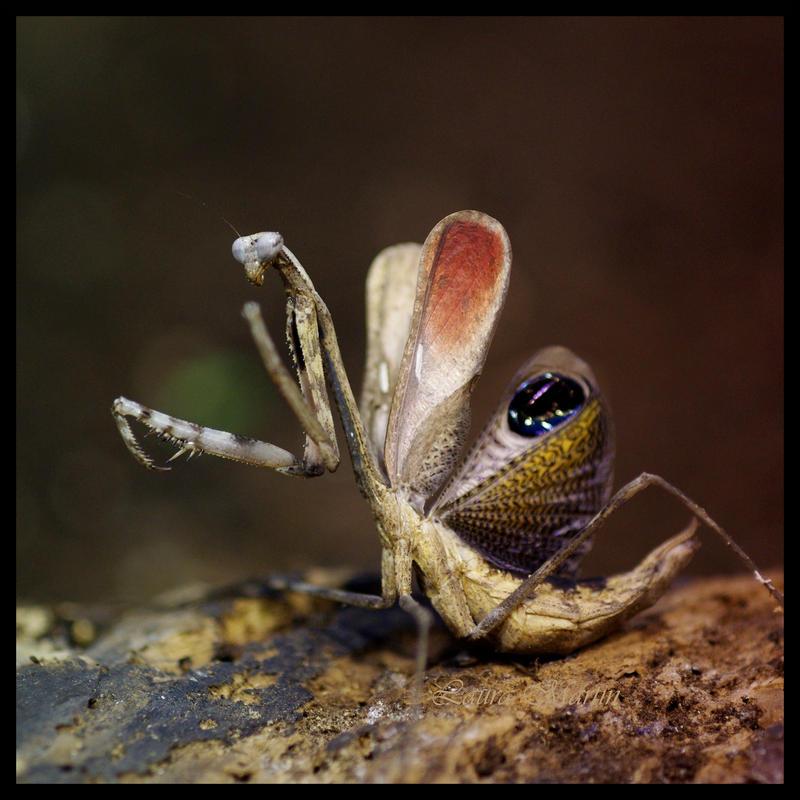Peacock Mantis