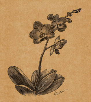 Phalaenopsis by Caelitha