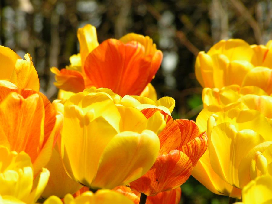 CVECE - Page 6 Yellow_tulips_by_paulatiga