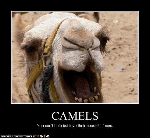 Displaying (18) Gallery Images For Camels Face...
