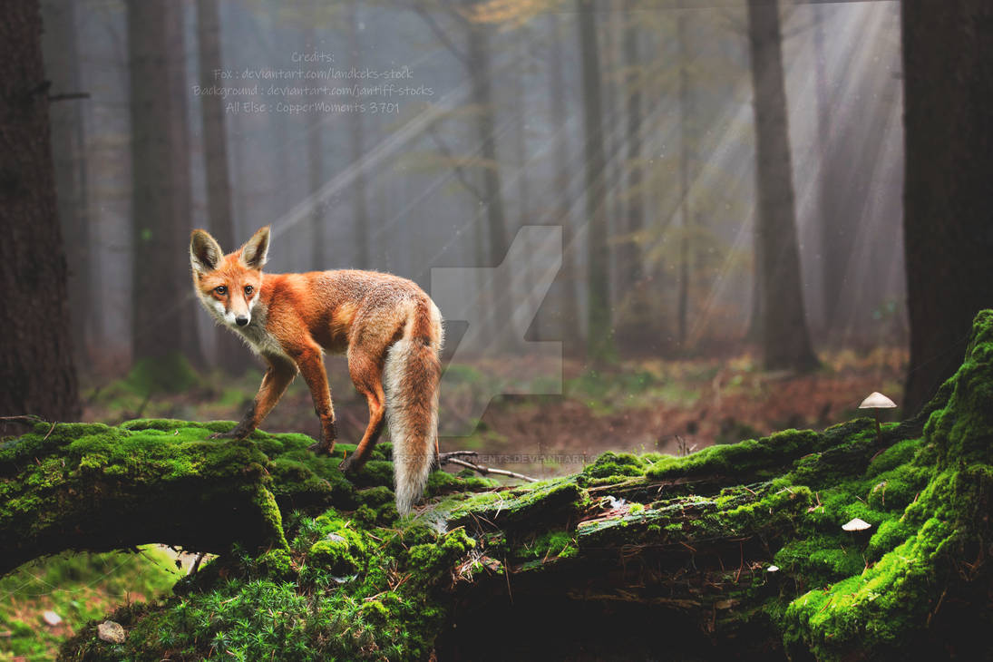 Forrest Fox