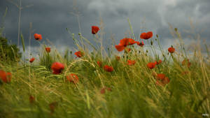 Poppys in the storm