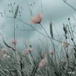 Poppys by rdalpes