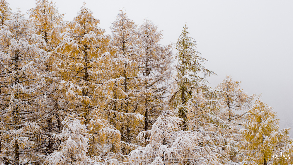 Larch in the snow by rdalpes