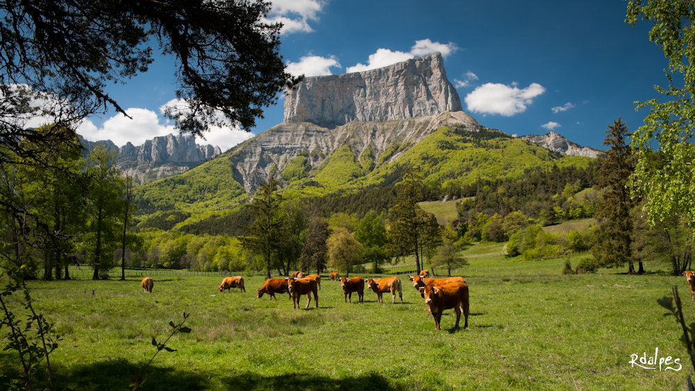 Cows by rdalpes