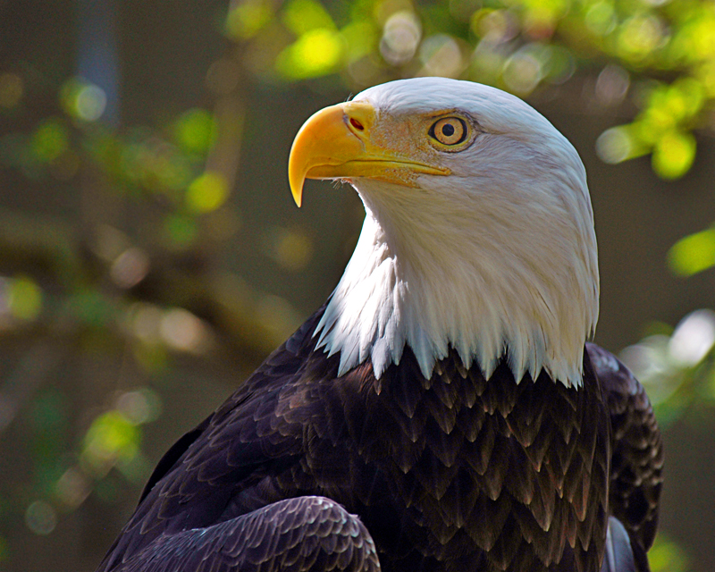 Bald Eagle by Digital-Eyes