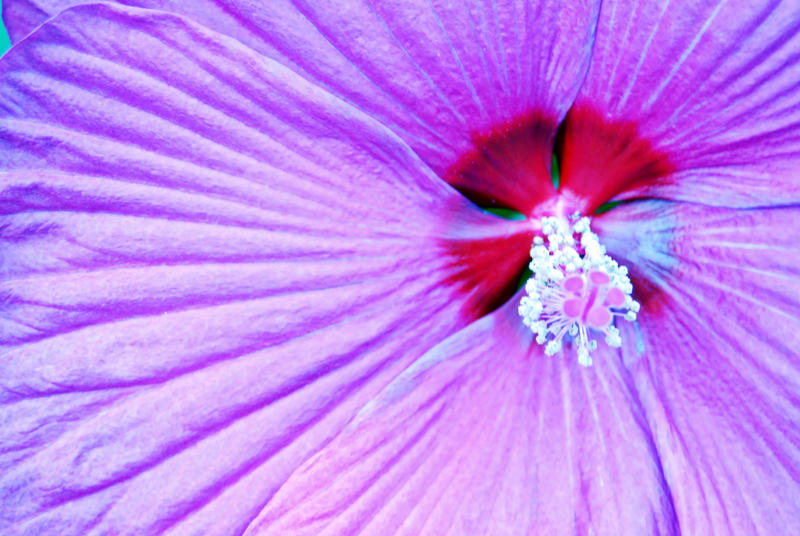 hibiscus wallpaper. hibiscus wallpaper by