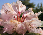 RHODODENDRUMS AFTER RAIN