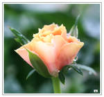 SINGLE MINIATURE ROSE