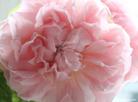 pink rose 21
