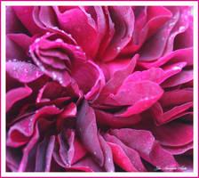 dark red rose 7
