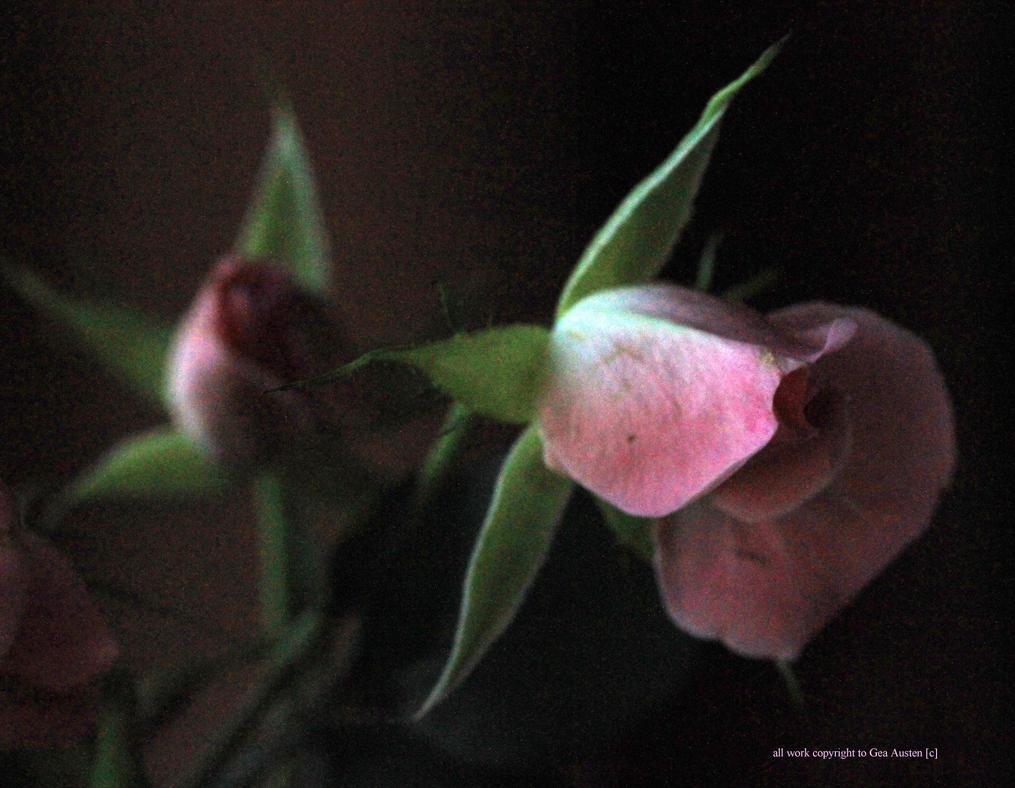 dreamy pink roses by GeaAusten