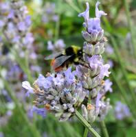 Red-tailed Bumblebee Bombus lapidarius by GeaAusten