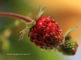 WILD STRAWBERRIES  READY by GeaAusten