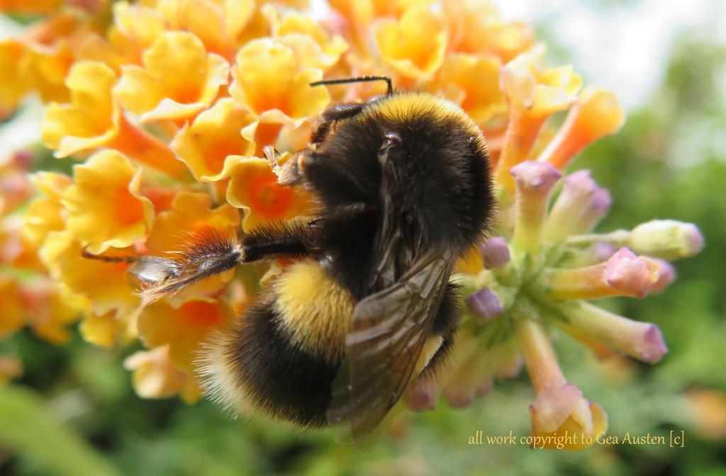 BUMBLE BEE by GeaAusten