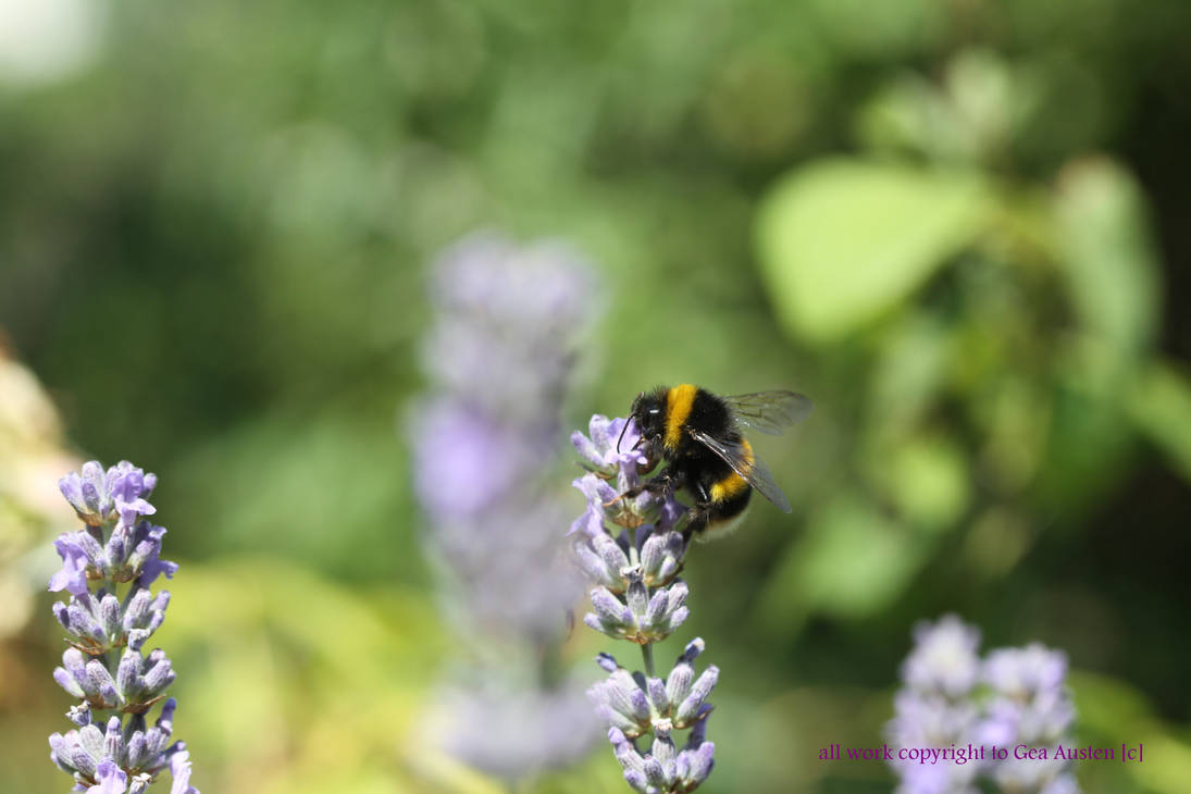 Bee on Lavender by GeaAusten