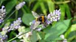 PRETTY BEE ON LAVENDER by GeaAusten